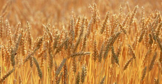 Аймгийн хэмжээнд ургац хураалтын ажил 82 хувьтай байна.